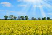 Spring landscape with rape field and trees — Stock Photo
