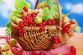 Wicker basket with fresh red currant  — Stock Photo