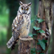 Owl In Wood — Stock Photo