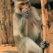Macaque — Stockfoto #13649956