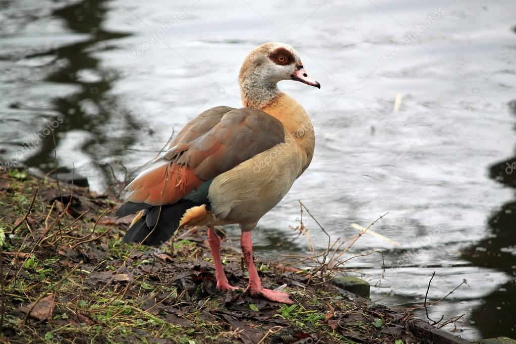 Photo of wild goose — Stock Photo #13649732
