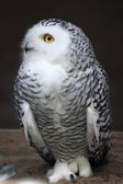 Owl photo — Stockfoto