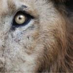 Lion — Photo