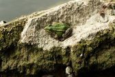 Green Frog — Stock fotografie