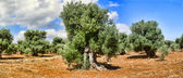 Olive trees. Plantation and cloudy sky — Stock Photo