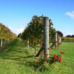 Vineyards Estate Winery Soljans. Auckland. New Zealand. — Stock Photo #35640559