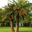 Stock Photo: Palm-tree