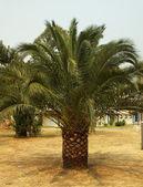 Palm-tree — Foto de Stock