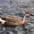 Goose-Anser cygnoid - Stock Photo
