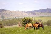 Spanish Mustangs — Stock Photo