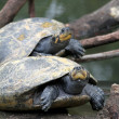 Turtles — Stock Photo