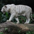 White Tiger — Stock Photo #30914983