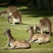 Australian Kangaroo — Stock Photo