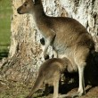 Australian Kangaroo — Stock Photo #32450243