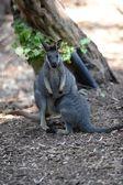 Australian Wallaby — Stock Photo
