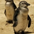 Stock Photo: Fairy Penguins