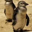 Fairy Penguins — Stock Photo