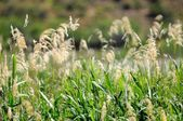 Water Reeds — Stock Photo