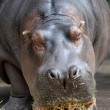 Hippopotamus — Stock Photo #41895679