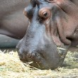 Hippopotamus — Stock Photo #41895737