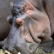 Hippopotamus — Stock Photo #41895787