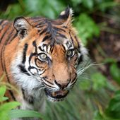 Sumatran Tiger — Foto Stock