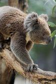 コアラ — ストック写真