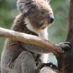 Koala — Stock Photo #45576681