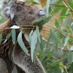 Koala — Stock Photo #45576721