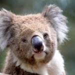 Koala — Stock Photo #45576773