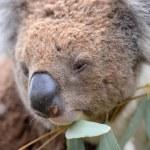 Koala — Stock Photo #45576807
