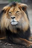 African Lion — Stock Photo
