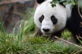 Panda — Stok fotoğraf
