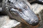 Amerikaanse alligator — Stockfoto