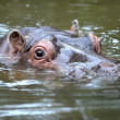 African Hippo — Stock Photo #46181729