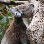 Koala — Stock Photo #46181751