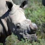 Постер, плакат: Rhino
