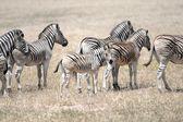 Wild Zebra — Stock Photo