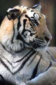Tigre de bengala — Foto de Stock