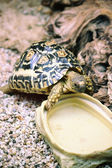 Leopard Tortoise (Geochelone pardalis) — Stock Photo
