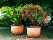 Standard (tree) Fuchsia plant — Stock Photo