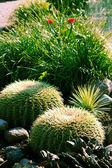 Echinocactuses and succulents — Stock Photo