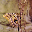 Royalty-Free Stock Photo: Owl butterfly (Caligo eurilochus)