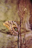 Owl butterfly (Caligo eurilochus) — Stock Photo
