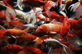 Japanese carp — Stock Photo