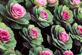Ornamental cabbage — Stock Photo