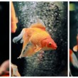 Gold Fish (Carassius auratus auratus) Collage — Stock Photo