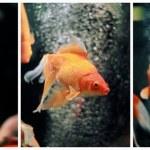 Gold Fish (Carassius auratus auratus) Collage — Stock Photo