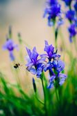 Iris and bee. — Stock Photo