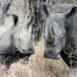 Mother and baby Rhino — Stock Photo #28410657